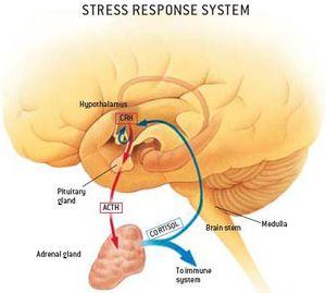 A stresszválasz élettana - Dr. Kopácsi László pszichiáter Győr - stressz, stresszhelyzetek, stresszválaszok